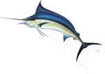 Marlin-White-Bkgrnd-ffffff-FLIPPED